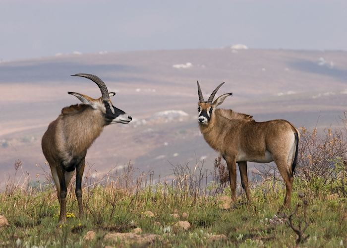 Roan antelope on the Nyika Plateau