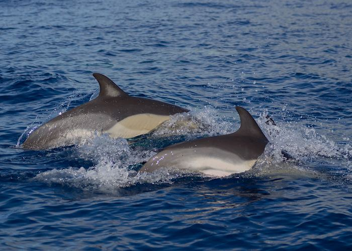 Dolphins, Pico