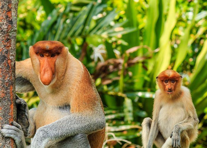 Proboscis monkeys, Sandakan, Borneo
