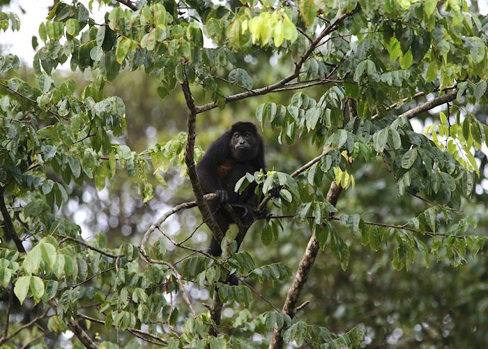 Howler Monkey Tortuguero National Park