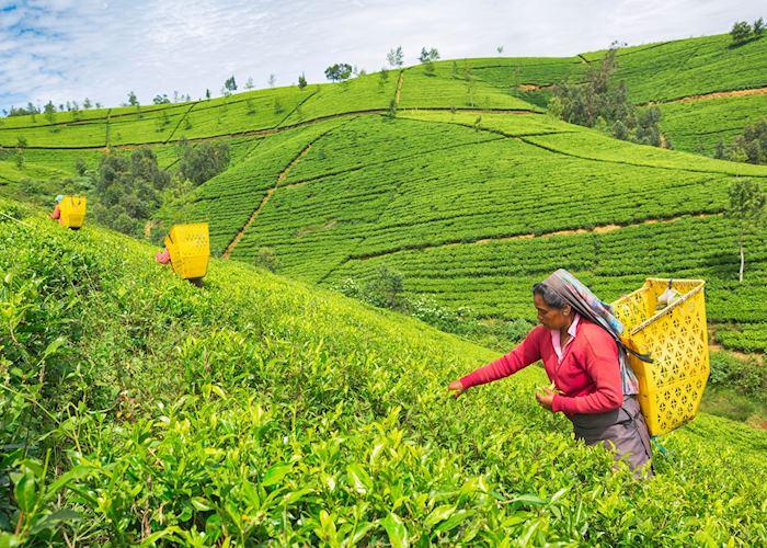 Female Worker at Tea Plantation, Nuwara Eliya, Sri Lanka