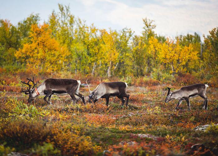 Reindeer grazing the pastures of Swedish Lapland