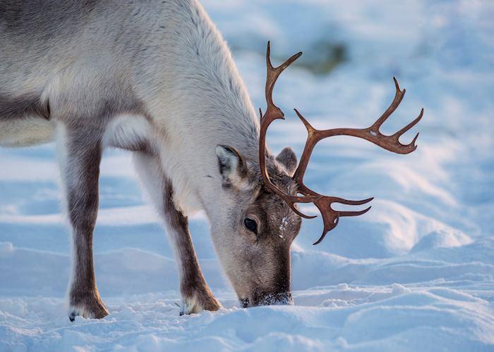 Wild reindeer, Swedish Lapland