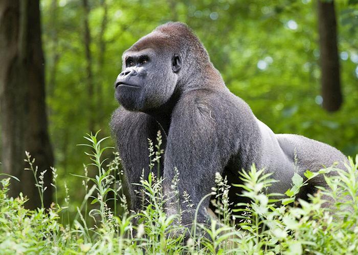 Silverback gorilla in Uganda