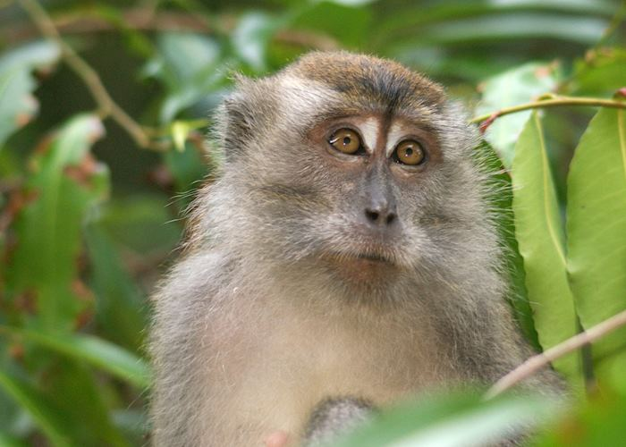 Crab-eating macaque in Sabah