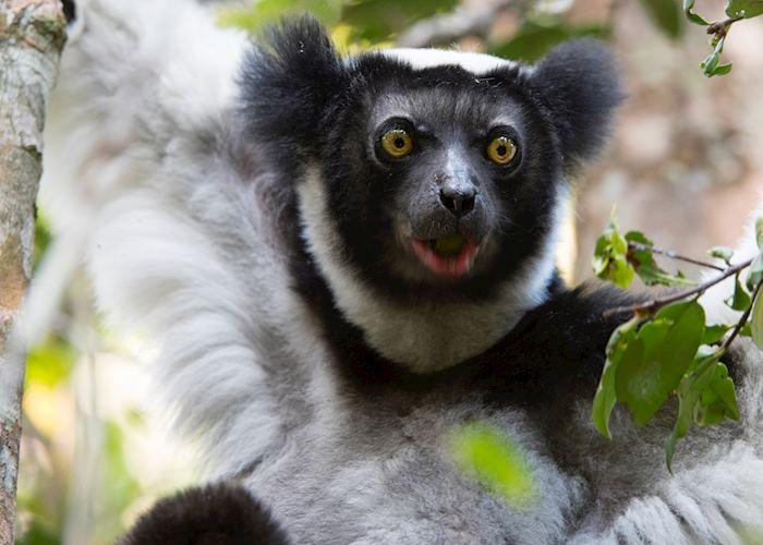Indri in eastern Madagascar