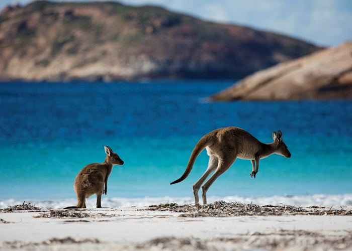 Kangaroos at Lucky Bay, Cape Le Grand National Park