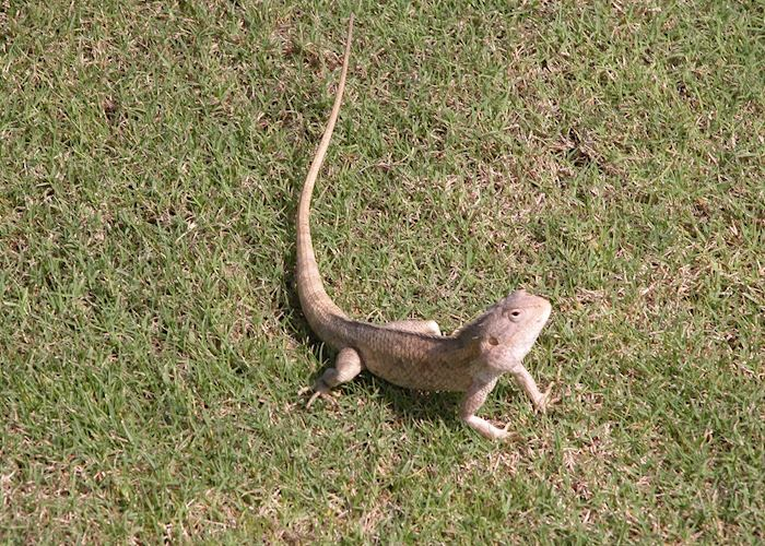 Lizard, Salalah