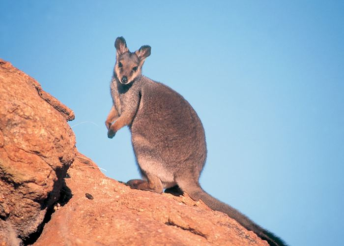 Black Footed Rock Wallaby, Central Australia