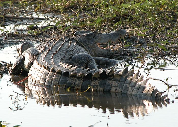 Crocodile, Yellow Water Billabong