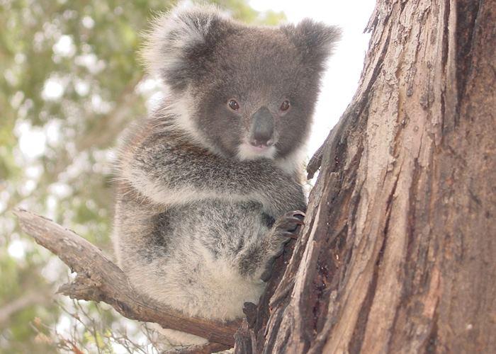 Baby Koala, Kangaroo Island, South Australia