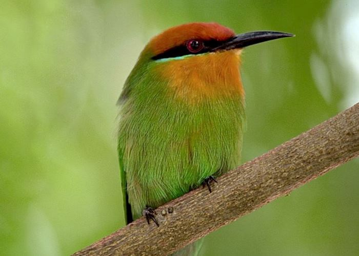 Bee eater, Liwonde