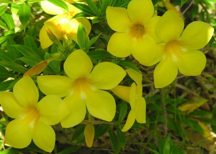 Polynesian flowers, Tahiti