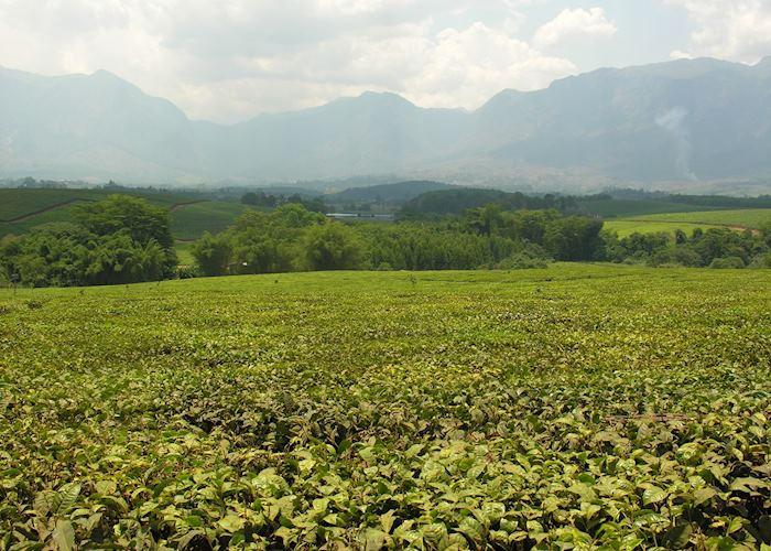 Lujeri Tea Estate