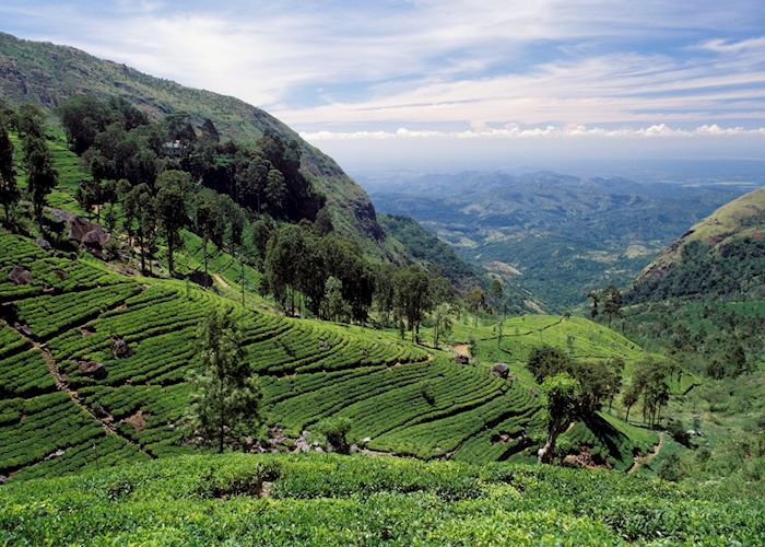 The Tea Country
