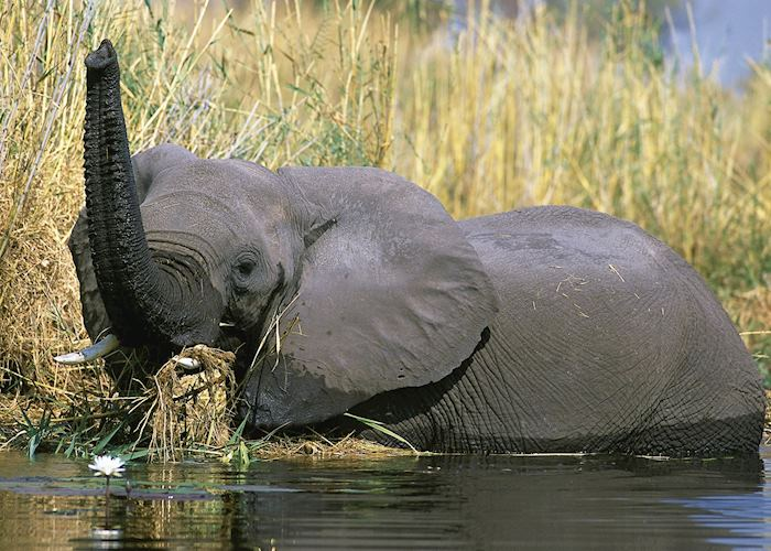 Elephant in the reeds