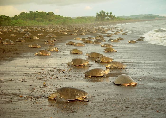 Olive Ridley Sea Turtles annual arrival, Playa Ostional, Guanacaste