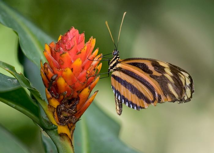 Heliconia butterfly, Costa Rica