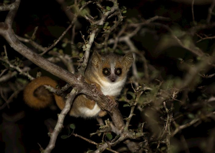 Mouse lemur, Madagascar