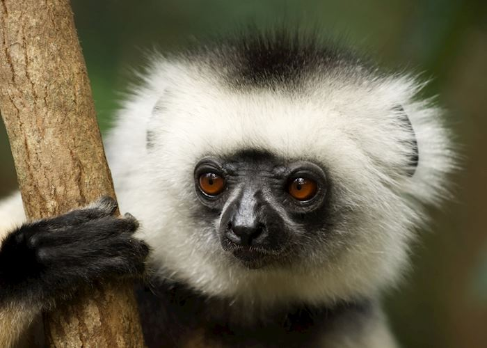 diademed sifaka, Andasibe-Mantadia National Park, Madagascar