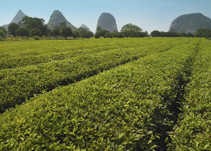 Tea plantation Guilin, China