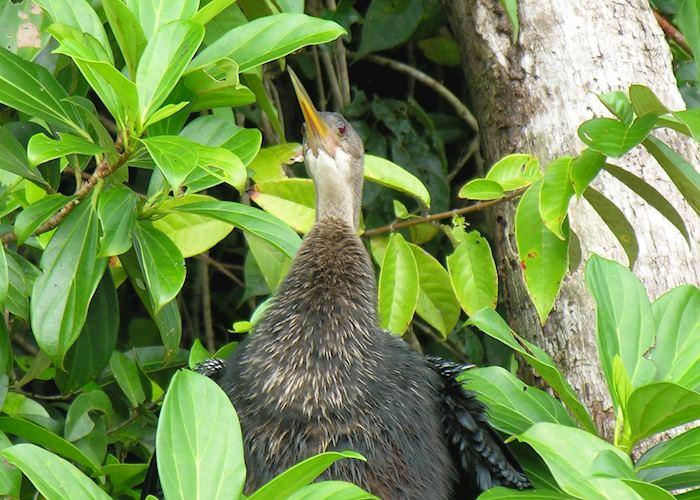Anhinga bird, Tortuguero National Park