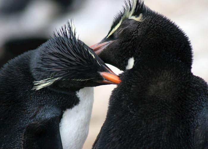 Rockhopper penguins, Saunders Island, The Falkland Islands