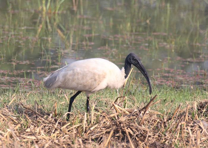 Black-headed Ibis, Bharatpur, India