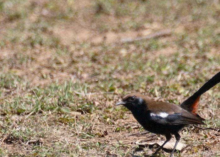 Indian Robin, Pench National Park, India