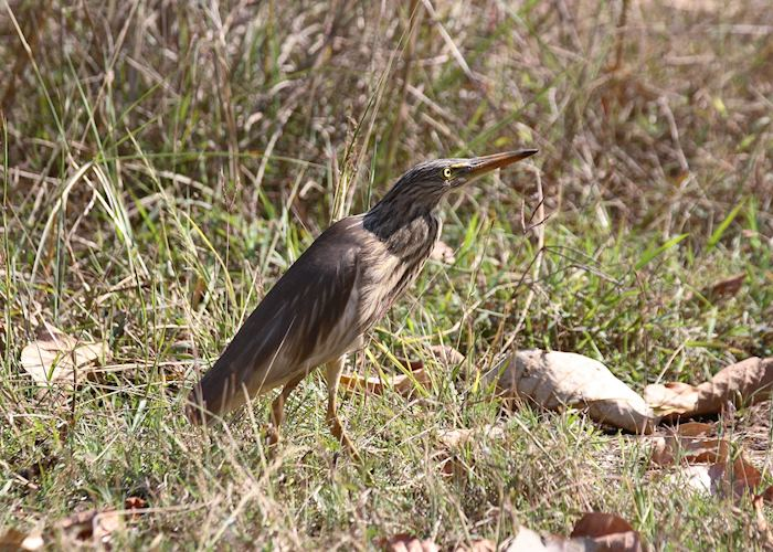 Striated Heron, Chambal Safari Lodge, India
