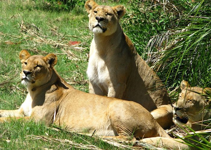 Lions, Duba Concession, Botswana
