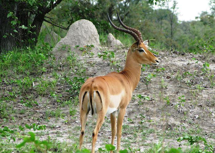 Impala, Mudumu and Mamili National Park, Namibia