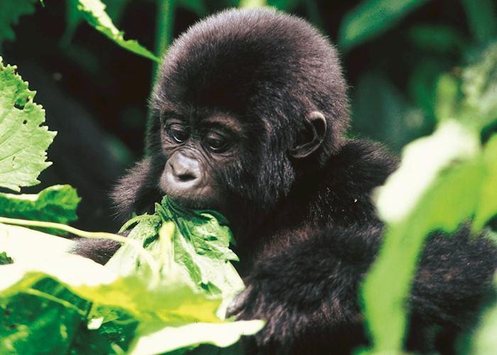 Mountain gorilla in the Virunga Mountains