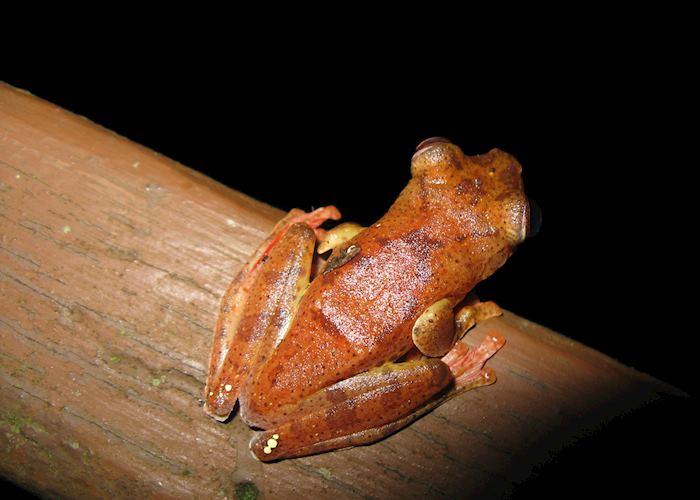 Harlequin frog, Danum Valley, Malaysian Borneo