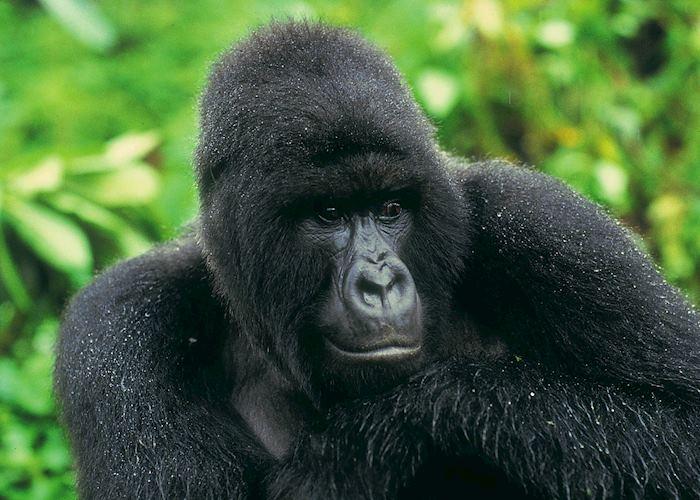 Mountain gorilla in the rain, Bwindi National Park
