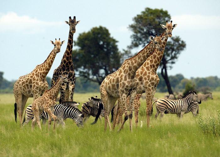 Giraffe and zebra in the Vumbura Concession