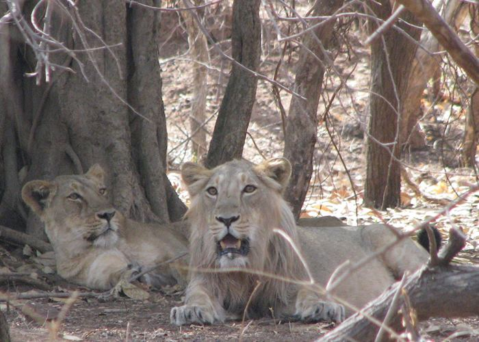 Lions at Gir