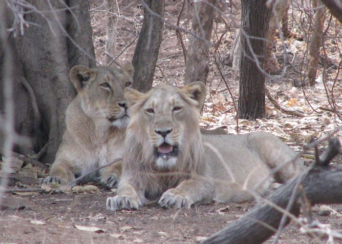 A young male and a female lion sighted at the Sasan Gir National Park on an afternoon safari