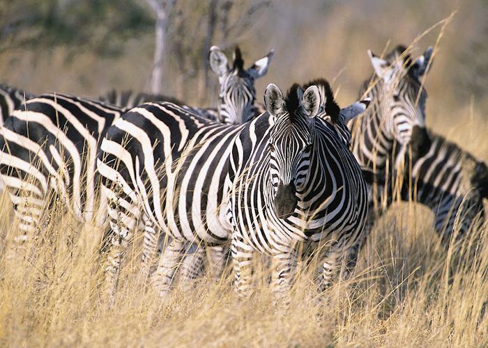 Zebra in the Mudumu National Park