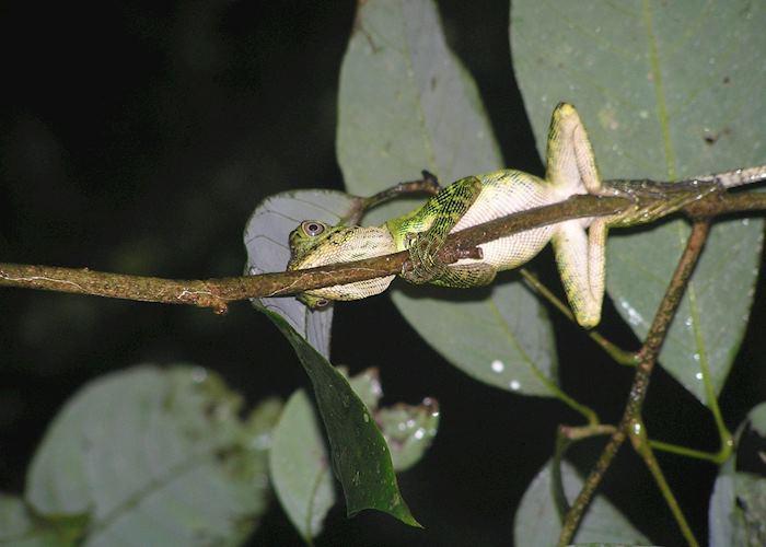 Tree frog, Danum Valley, Malaysian Borneo