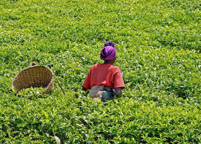 Rwandan tea-picker