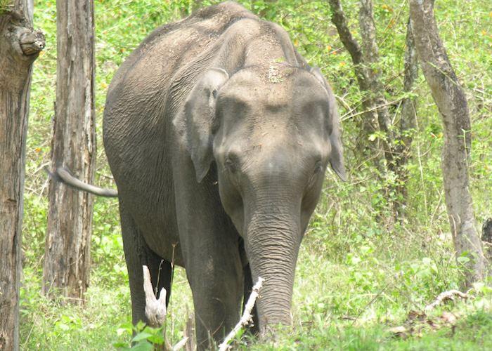 Wild elephant, Nagarhole National Park