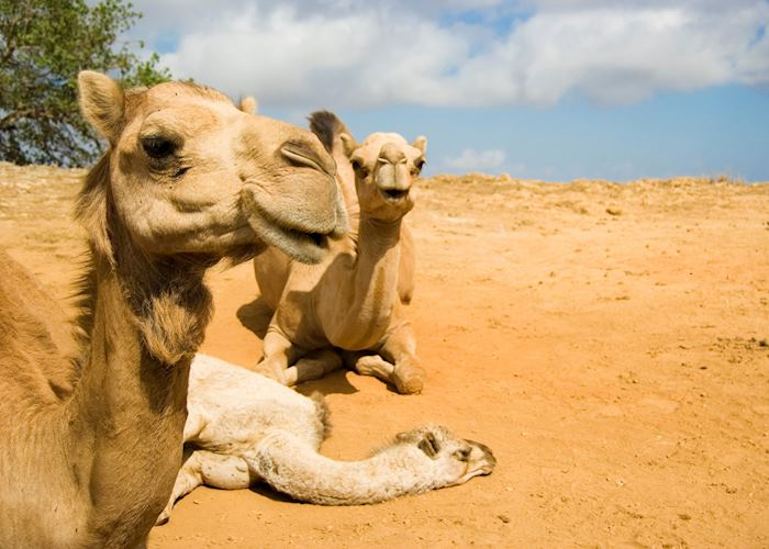 Adult camels with young, Salalah