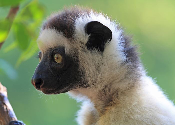 Verreaux's Sifaka, Isalo National Park