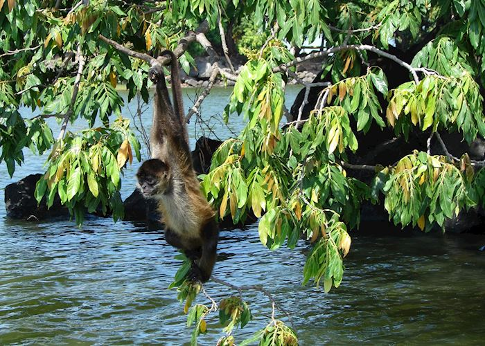 Spider monkey, Isletas boat tour, Granada