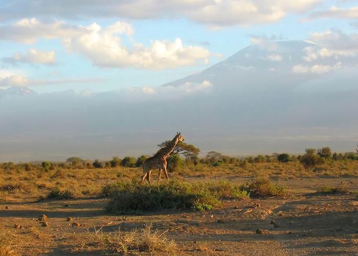 Giraffe in Amboseli National Park