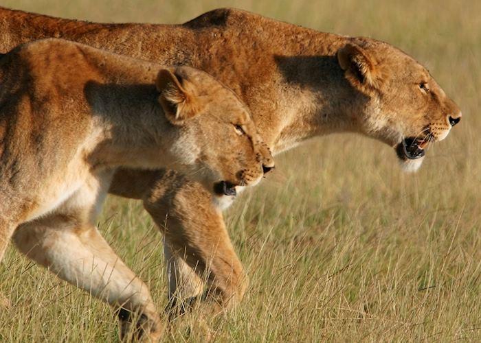 Lionesses in Amboseli