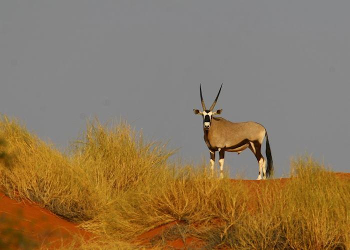 Gemsbok in the NamibRand