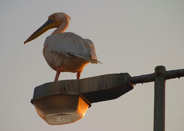 White pelican resting on a lamp post