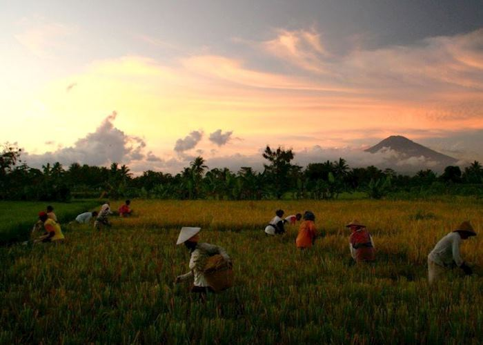 Rice fields in central Java, Indonesia